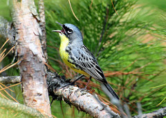Kirtland's warbler singing on a young Jack pine branch by Joel Trick US Fish and Wildlife Service