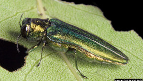 Image of an emerald ash borer on the bark of an ash tree