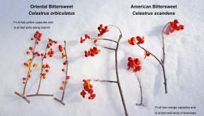 Image result for oriental bittersweet vs american