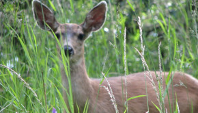 Deer have adapted to an urbanizing environment, but many species have not.