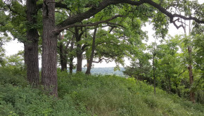 Oak savanna restoration in Rochester, MN