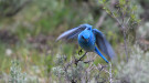 mountain bluebird. Photo: M. Penninger
