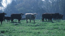 Cattle grazing in a field next to a forest. Courtesy of Jeff Vanuga/NRCS.