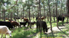 Cattle graze in a Georgia pine plantation. Photo by Mack Evans