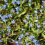 Squill photo by Peter Dutton from Forest Hills, Queens, USA [CC BY 2.0 (https://creativecommons.org/licenses/by/2.0)]